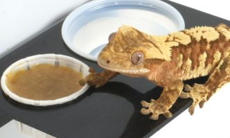 Top foods for Crested Gecko