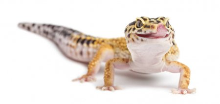 What Is The Best Diet For A Leopard Gecko Timeline Pets