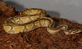 Best Substrate for Ball Pythons