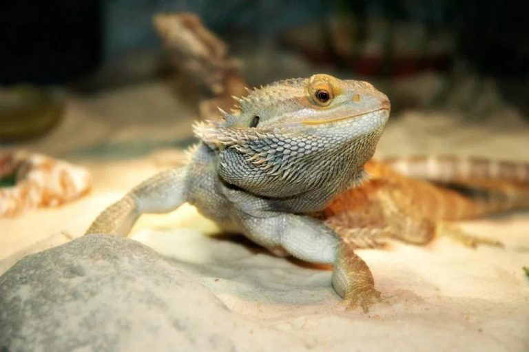 Best Substrates & Bedding for Bearded Dragons