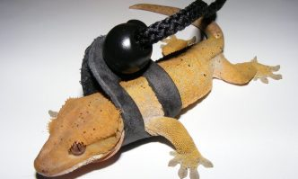 Crested Gecko Leash