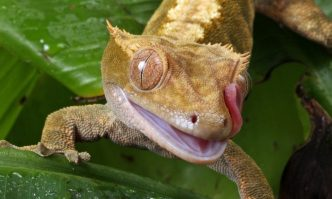 Crested Gecko Supply List