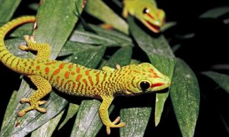 Crested Geckos Behaviors