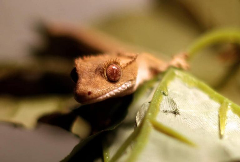 Reasons to buy crested gecko leashes